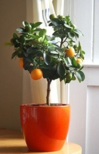 fruit tree pot