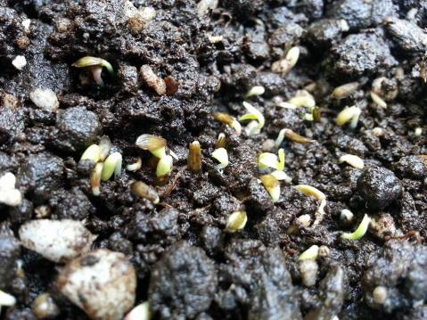garden first sprouts